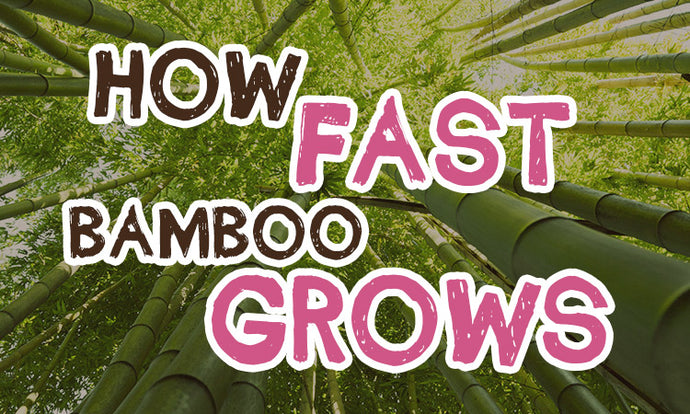 How Fast Bamboo grows