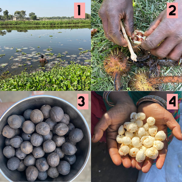 Makhana Sustainable farming process, Sustainable Agriculture harvesting and popping of makhana