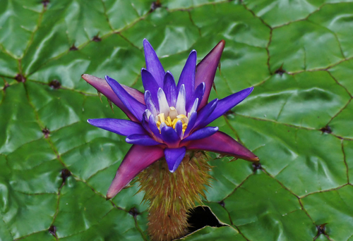 flowering prickly water lily plant surrounded by lily pads