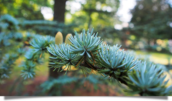 The exquisite green beauty of pine boughs!