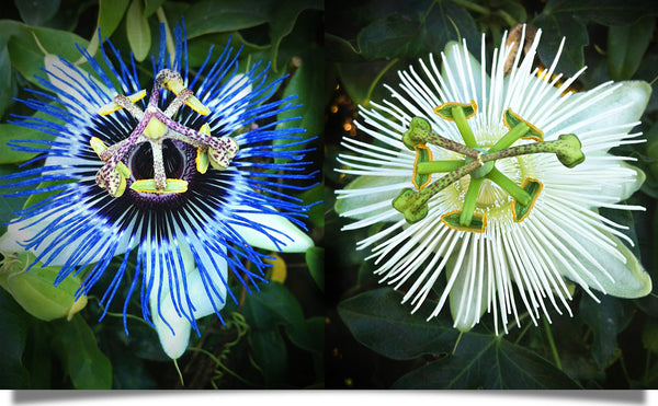 The natural skincare power of the passion flower