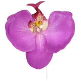phalaen orchid flower head purple