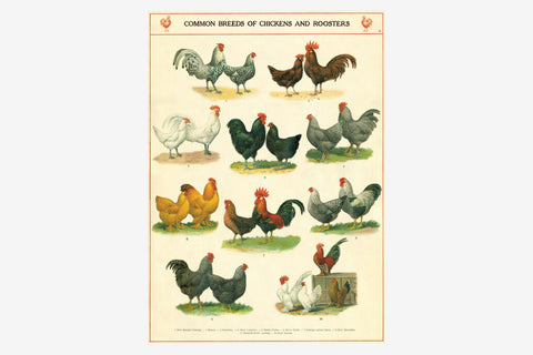 Cavallini Gift Wrap - Chickens & Roosters