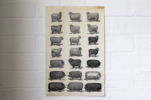 Monahan Poster - Sheep & Pigs