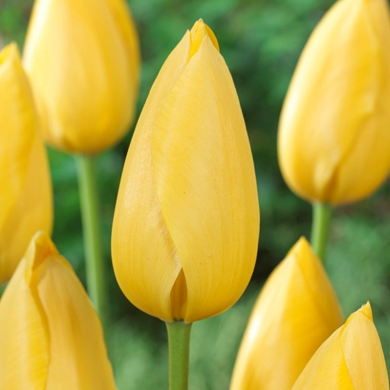 Tulip Bulbs -East Formal Gardens Collection