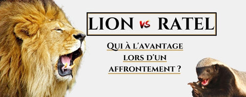 ratel vs lion