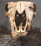Domestic Lamb Skulls - Nature Brown