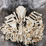 Jacobs Ram Skeleton Disarticulated