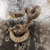 Rattlesnake Taxidermy