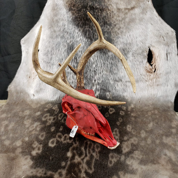 Deer Horned Red Goat Skull