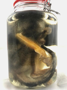 Squirrel Monkey Wet Specimen