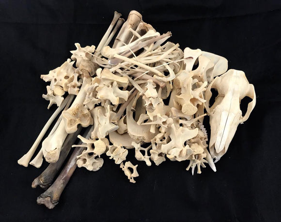 Red Kangaroo Skeleton Disarticulated