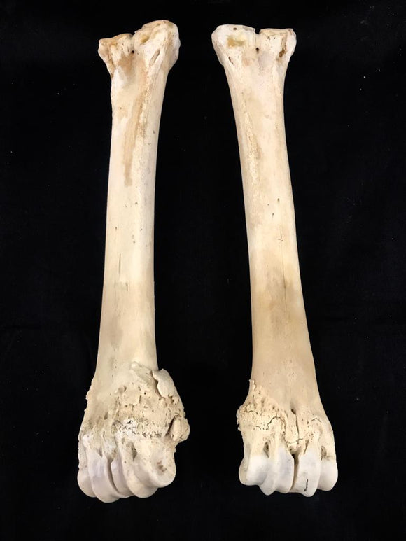 Pathological Nilgai Leg Bones