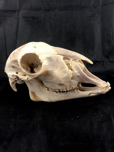 Pathological Lamb Skull