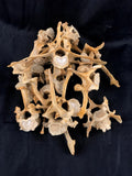 Pathological Red River Hog Vertebrae