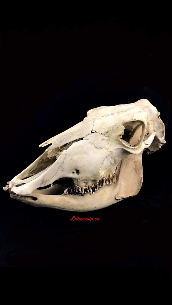 Cow Skull - Large