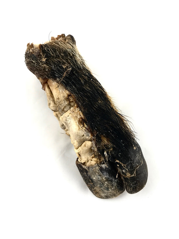 Mummified Red River Hog Foot