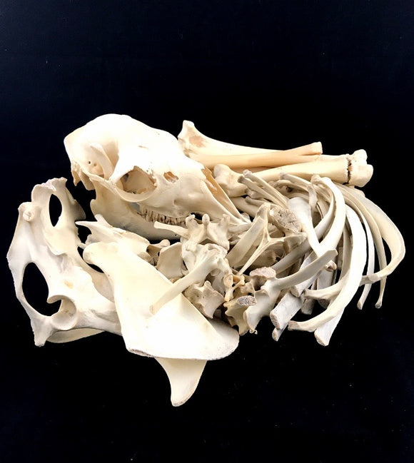 Alpaca Skeleton Disarticulated