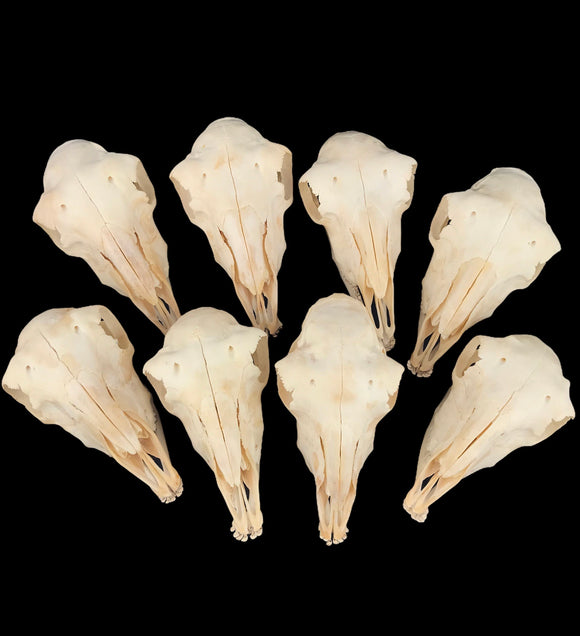 Domestic Lamb Skulls - Set Of 8