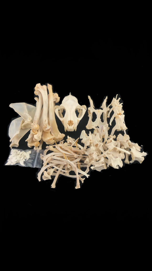 Serval Skeleton Disarticulated