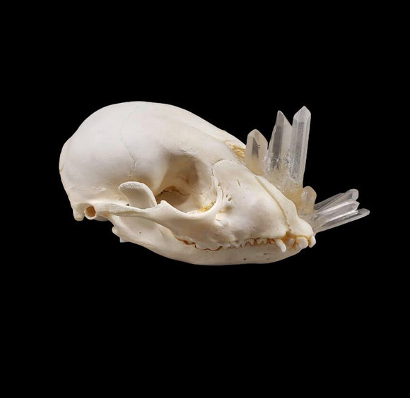 Crystal Raccoon Skull