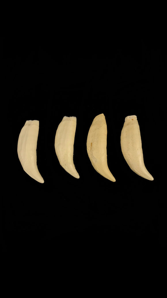 Replica Grizzly Bear Teeth - Set Of 40