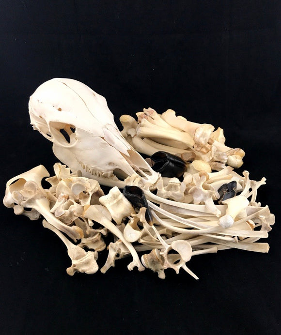 Juvenile Mini Zebu Skeleton - Disarticulated