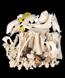 Calf Skeleton Disarticulated