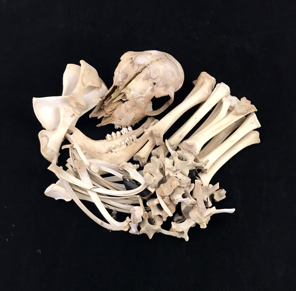 Lamb Skeleton Disarticulated