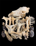 Pony Skeleton Disarticulated