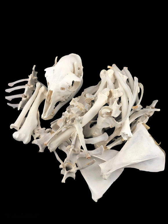 Adult Llama Skeleton Disarticulated