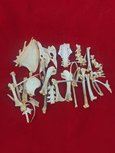 Pigeon Skeleton Disarticulated