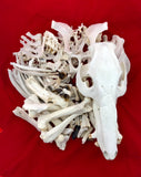 Red River Hog Skeleton- Disarticulated