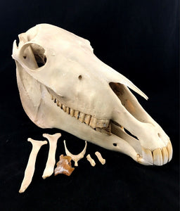 Pony Skull & Throat Bones