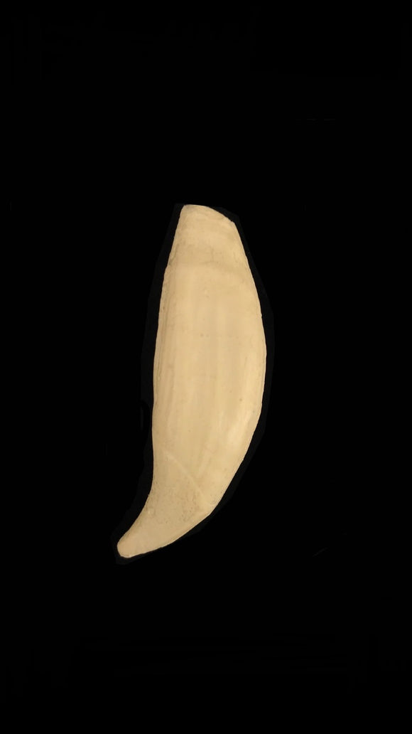 Replica Grizzly Bear Tooth Pins