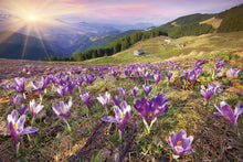Load image into Gallery viewer, Crocuses at Spring Wall Mural