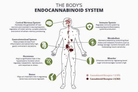 Plot - Cannabinoids and the Endocannabinoid System