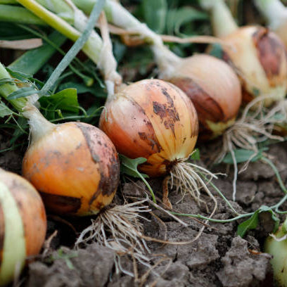 Onion Plants FAQ