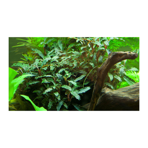 Tropica Potted Bucephalandra 'Red' - Wet Habitat