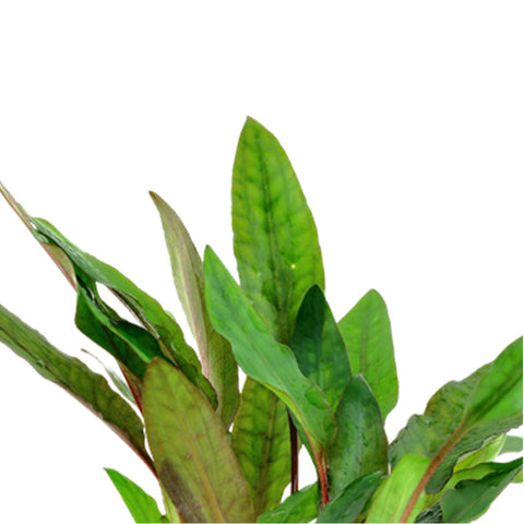 Tropica Potted Cryptocoryne beckettii 'Petchii'