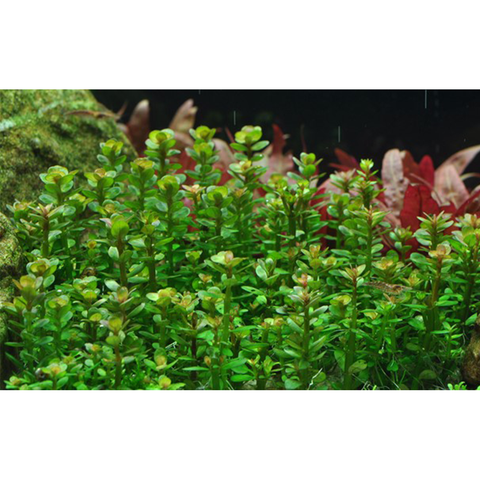 Tropica Rotala Bonsai - 1-2 Grow! - Wet Habitat
