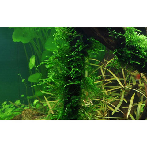Tropica Taxiphyllum 'Spiky' Moss - Portion