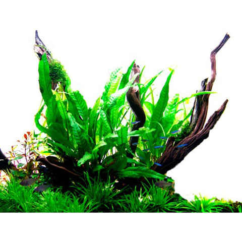 Tropica Potted Microsorum pteropus