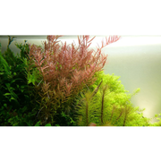 Tropica Potted Rotala rotundifolia