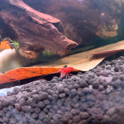 Bright Red Cherry Shrimp - Wet Habitat