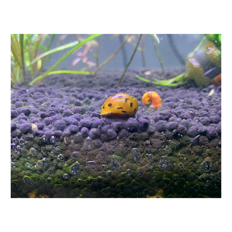 Red Tire Track Nerite Snails