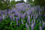 Fields of Lupines