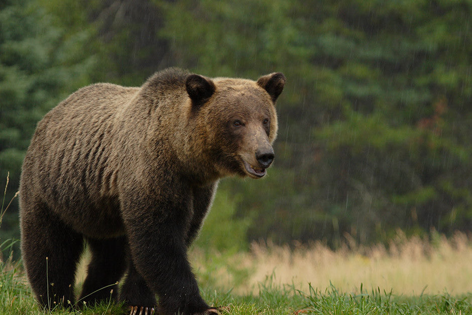 Idaho Grizzly in the Rain