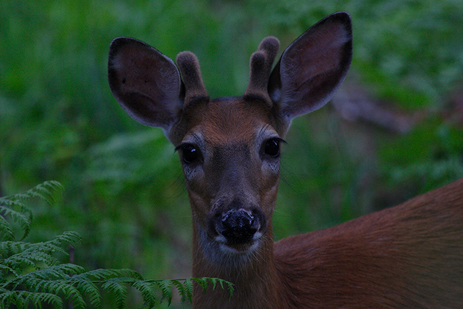 Little Buck, White-tail Deer