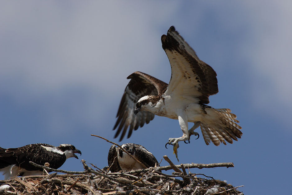 Osprey, Fish to the Nest